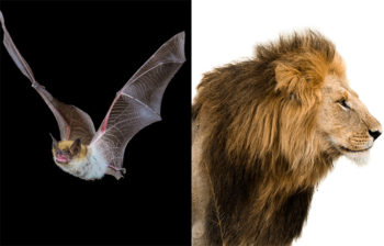 Researchers Find That Endangered Bats Could Raise As Much Money Lions For Wildlife Charities