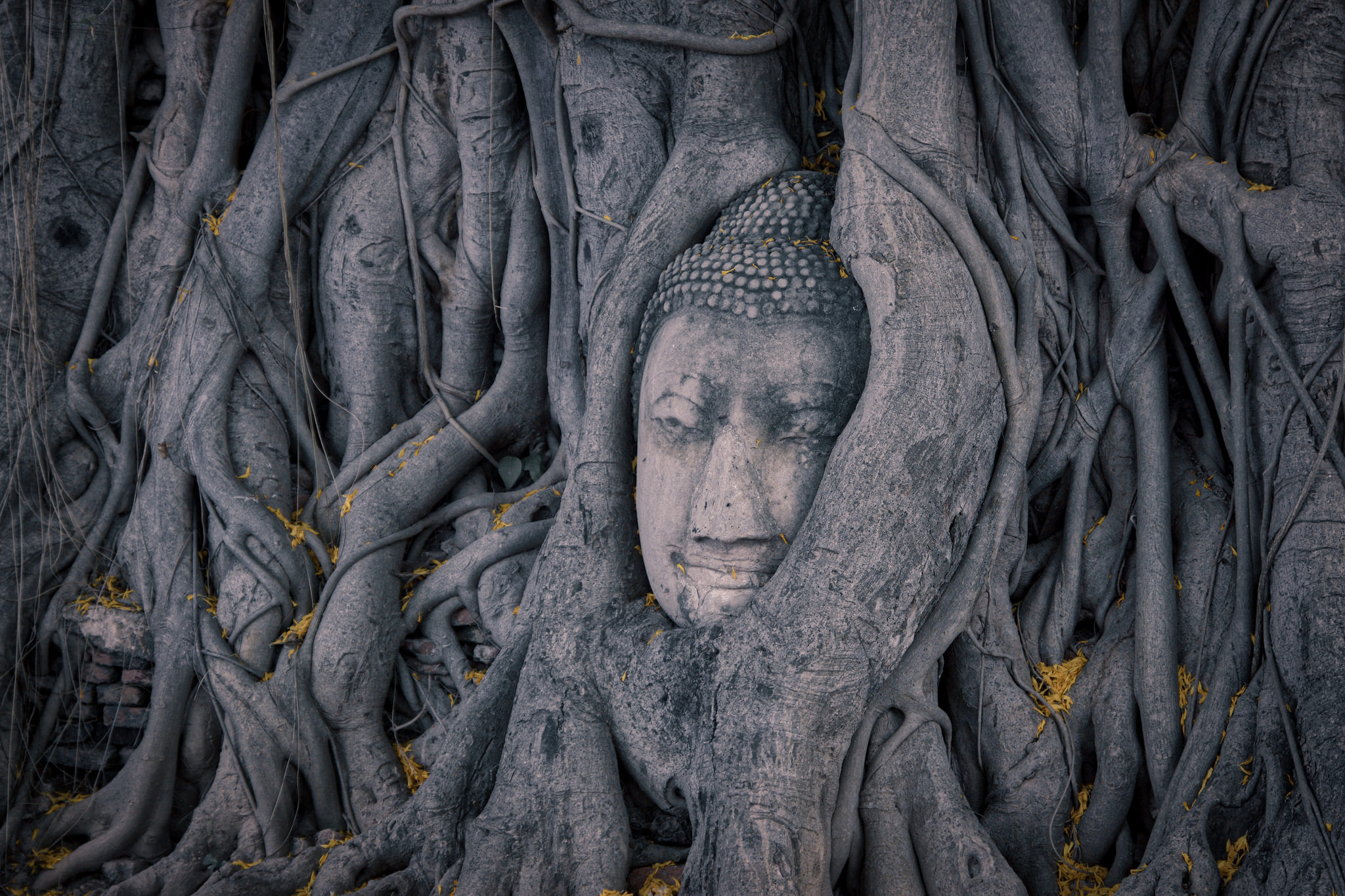 A buddha face engulfed by grey tree roots